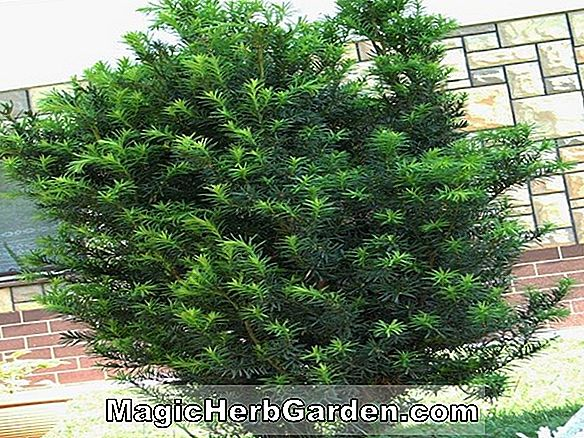 Taxus baccata (Decora English Yew)