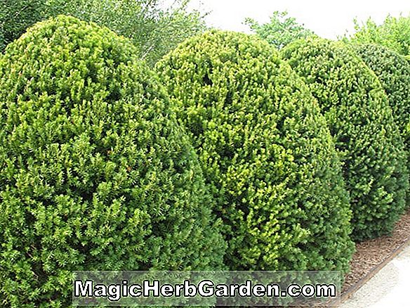 Media Taxus (Hicksii Yew)