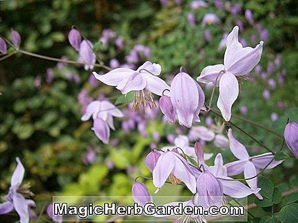 Thalictrum chelidonii (Meadow Rue)