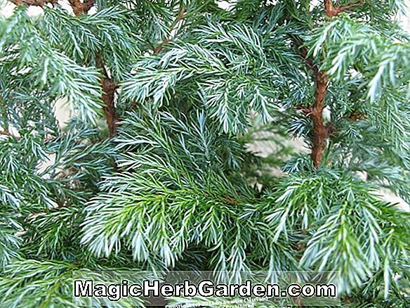 Thuja occidentalis (Green Midget American Arborvitae)