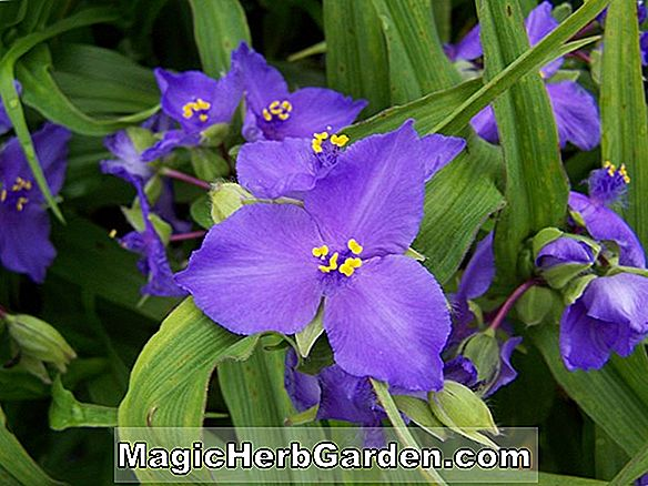 Tumbuhan: Tradescantia Andersoniana Group (Red Cloud) - #2