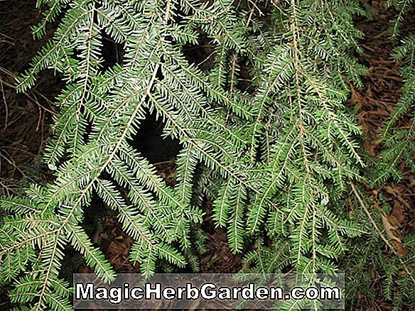 Tsuga canadensis (Little Joe Canadian Hemlock) - #2