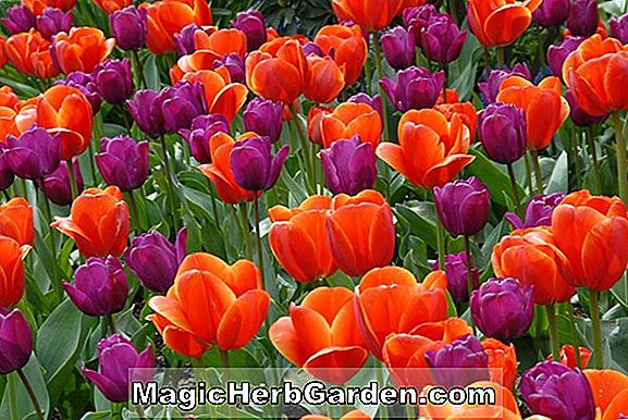 Tumbuhan: Tulipa (Orange Elite Tulip)