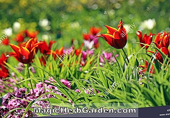 Tulipa (Tulip Red Champion)