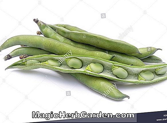 Vicia faba (Broad Bean)