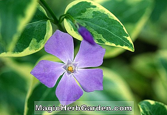 Vinca minor (Azurea Flore Pleno Common Periwinkle)