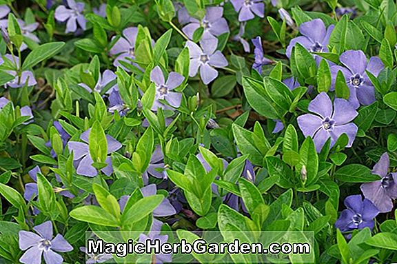 Vinca minor (Alba Common Periwinkle)