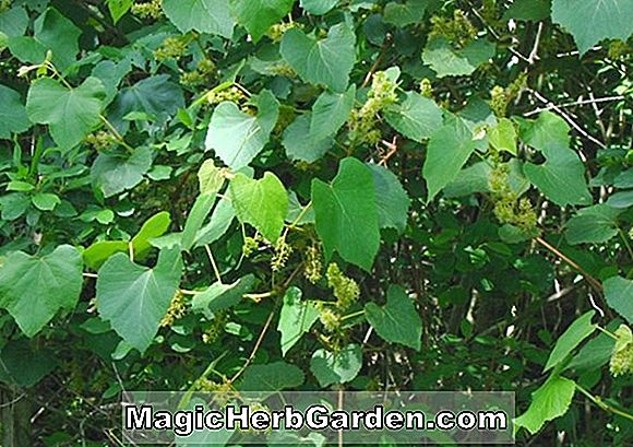 Tumbuhan: Vitis (Buffalo Grape)