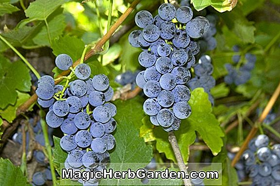 Vitis labrusca (Agawam Grape)