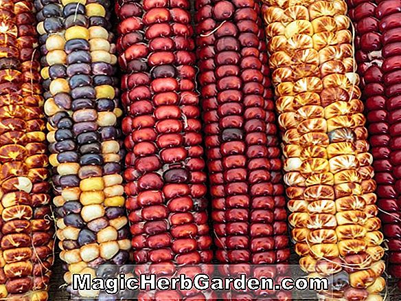 Zea mays (Calico Indian Corn)