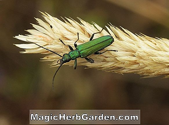 Tips: Blister Beetle